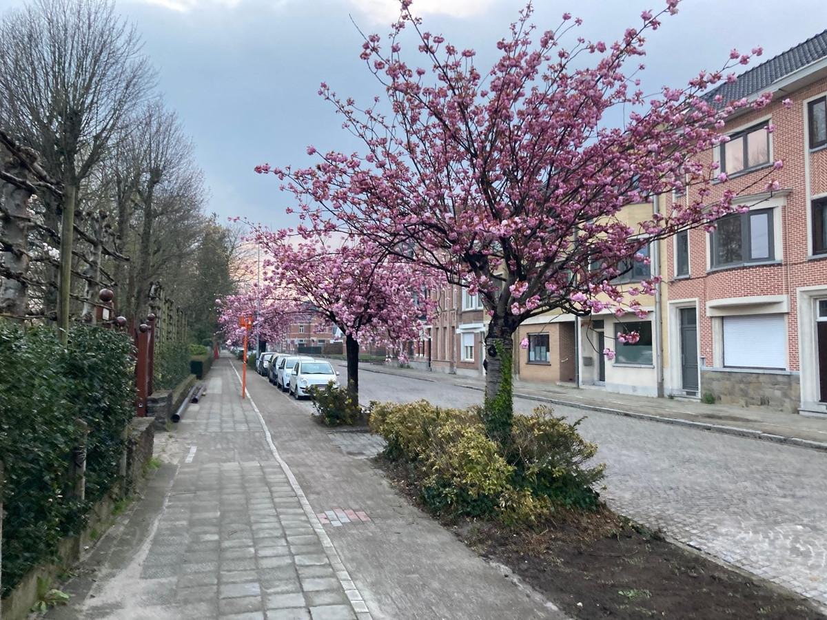 De kerselaars aan de Groendreef en op het Stationsplein kleuren prachtige roze nu ze in bloei staan.
