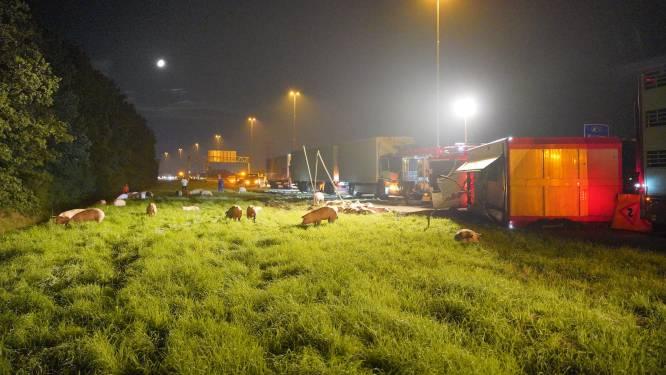 Varkens dood bij ongeluk op A73, vrachtwagen kantelt bij Nijmegen