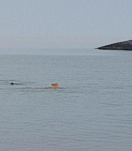 Video van de Dag | Unieke beelden: Zeehond speelt met hond in Zeeland