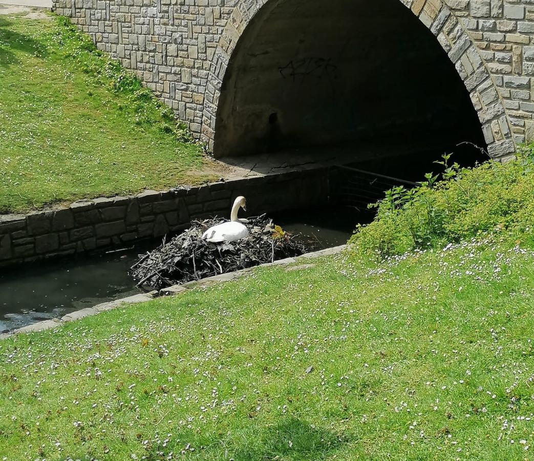 Un couple de cygnes a installé son nid au parc de la Boverie. Le problème, c'est qu'il est trop visible et facilement accessible.