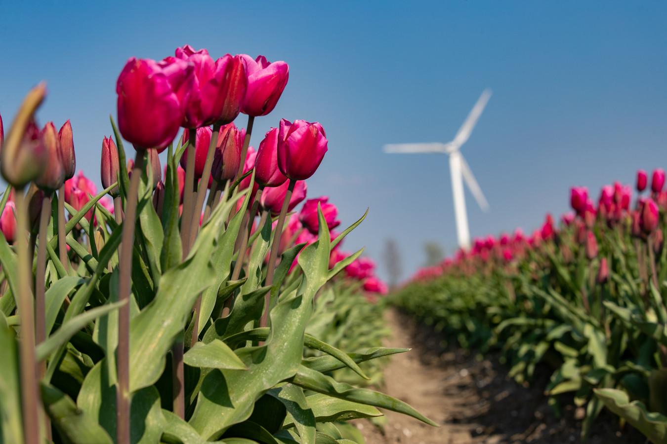Bloembollen in bloei in Flevoland