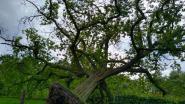 Monumentale eik in Kasteelpark Lembeek bezwijkt: Stad Halle wil reus tweede leven geven