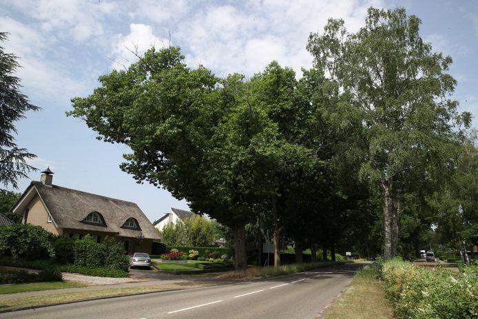 De bomen langs de Dijkstraat die moeten wijken.