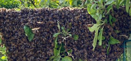 Lotte schrikt zich een hoedje; opeens zwermen er 35.000 bijen in haar tuin: 'Wat moet ik doen?'