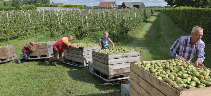 Arbeidsmigranten helpen bij de oogst van peren.