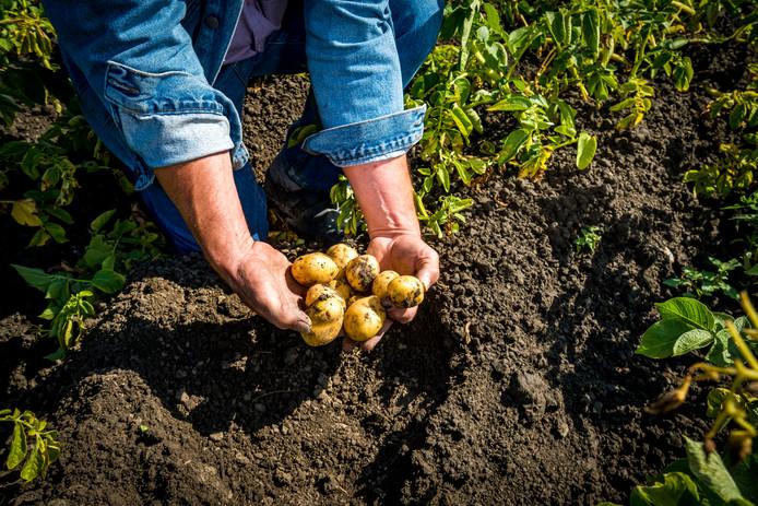 Met het uit de grond halen van de aardappels is de boer er nog niet. Ze moeten nog opgeslagen worden, maar hoe?