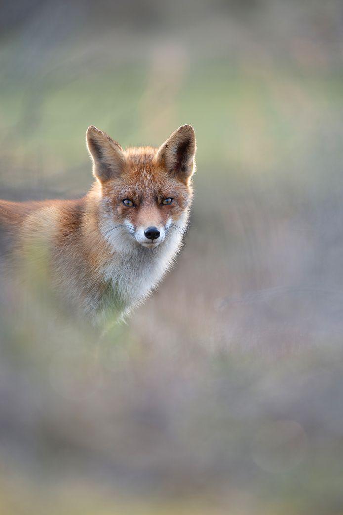 'Dreamy Fox', de foto waarmee natuurfotograaf Jeroen Arts in de finale zit van de wedstrijd 'Nature Photographer of the Year'