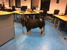 Pony aan lantaarnpaal achtergelaten in Barneveld