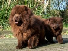 Dwangsom voor hondenfokker in Heteren, bedrijf voldoet niet aan de regels