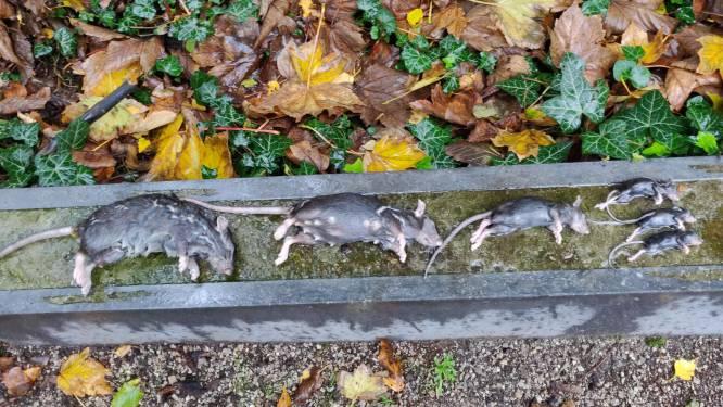Schilde bekijkt of het financieel haalbaar is slimme rattenvallen aan te kopen
