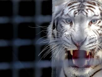 Ontsnapte tijgers doden medewerker Indonesische zoo