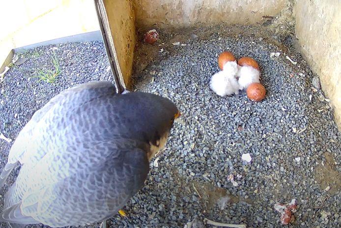 Twee van de vijf eieren werden in de nacht van woensdag op donderdag uitgebroed.