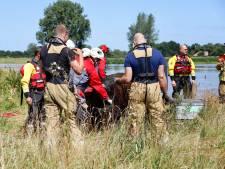 Koe die gered werd uit de Maas bij Escharen zwom zo'n 100 kilometer door de rivier