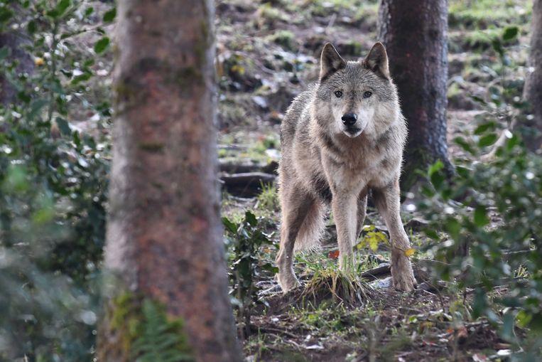 In het voorjaar kunnen er jonge wolfjes rondlopen op de Noord-Veluwe. Beeld OrangePictures