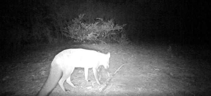 Jagersorganisatie krijgt bezoek van een vos