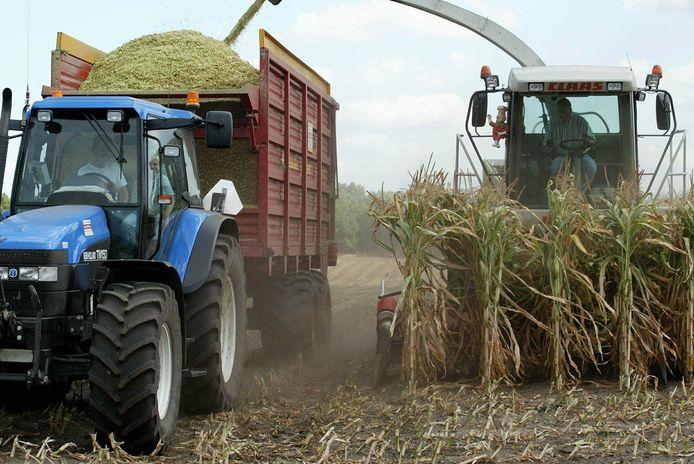 Door de droogte is de kwaliteit van de mais slecht. Melkveehouders hebben de mais juist nodig als veevoer.