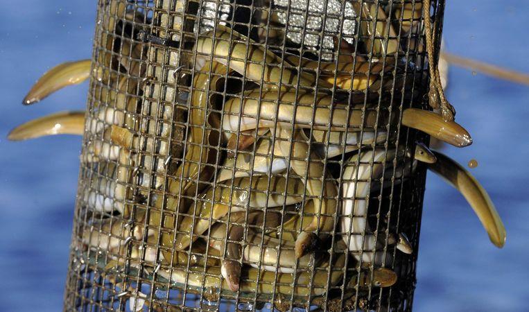 Paling in de netten van vissers in Maryland.  Beeld null