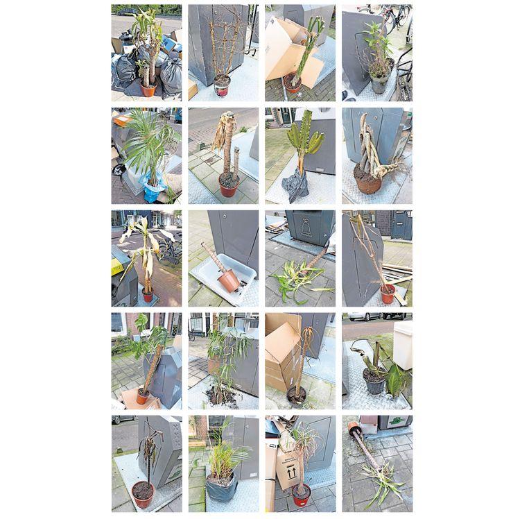Zolang in de stad het gft niet gescheiden wordt ingezameld, is op grofvuildag naast de afvalcontainer het lijden van menig afgedankte kamerplant te aanschouwen. Beeld Arnold Weel