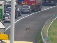 Loslopende hond overleden op A16 in de richting van Rotterdam