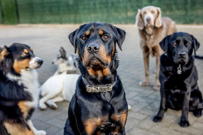 Welke hond past bij jou? Dat hangt onder meer af van je eigen karakter, zegt Anniek Winters. ,,De eigenaar van een Berner sennenhond is een ander type baas dan die van een Mechelse herder.''