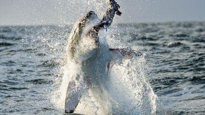 Springende witte haaien in Zuid-Afrika vallen ten prooi aan jagende orka's