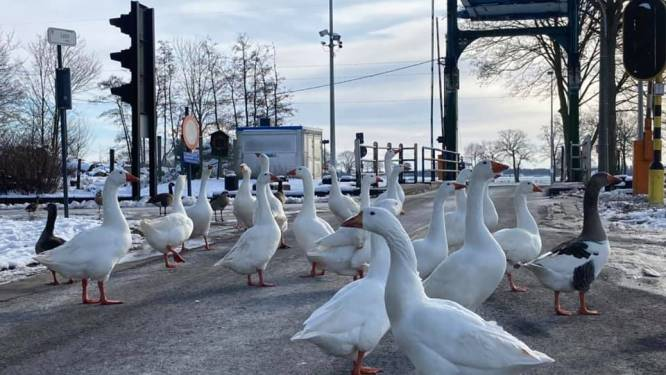 Brug geblokkeerd door protestactie van... bende ganzen