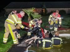 Geen bommetje meer: Koeien nemen onverwachte duik in zwembad van de buren