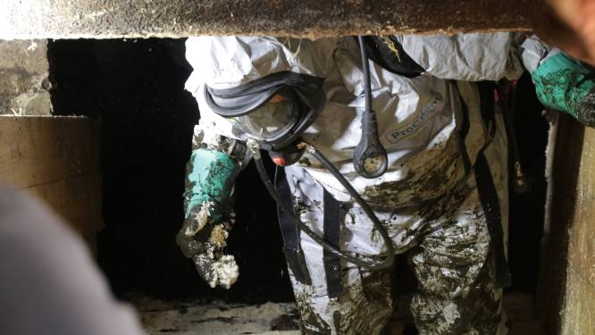 Brandweer redt 11 varkens die in beerput zijn gevallen