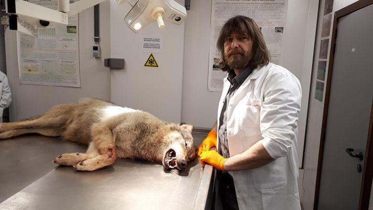 Bioloog Koen Van Den Berge, met een wolf op de autopsietafel. Beeld Frank Eeckhout