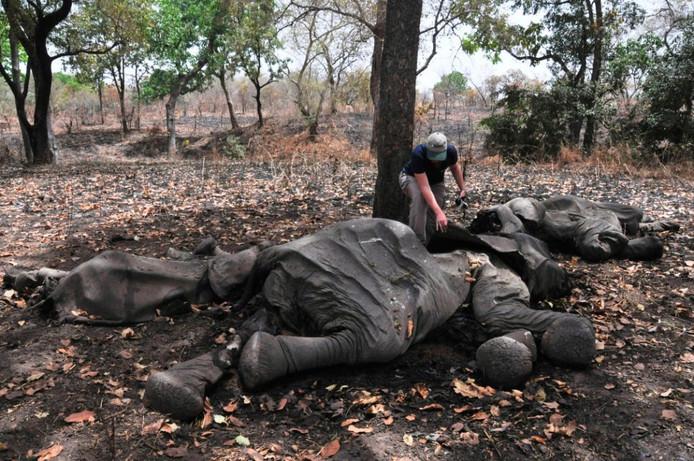 Steeds meer olifanten vinden de dood vanwege hun waardevolle ivoren slagtanden. (Archieffoto)