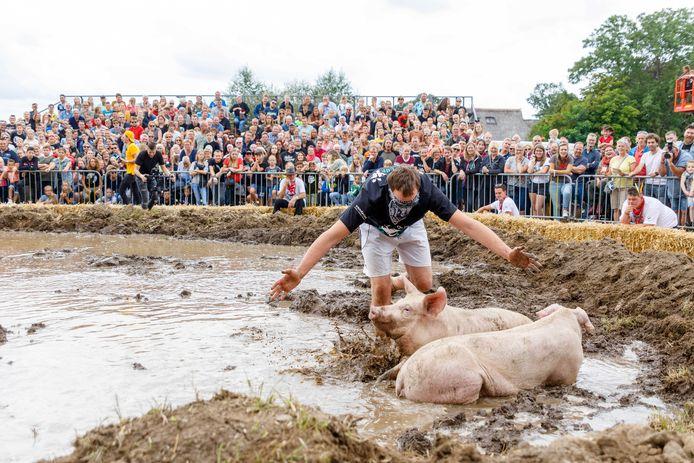 Het zwientie tikken in Steenwijkerwold leidde begin deze maand tot protest van dierenclubs en Kamervragen van de Partij voor de Dieren.