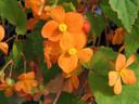 Begonia-Sutherlandii.