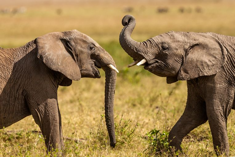 Young African elephants play fighting in Masai Mara. Beeld Getty Images