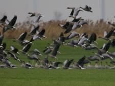 Einde aan sterke groei ganzenpopulatie