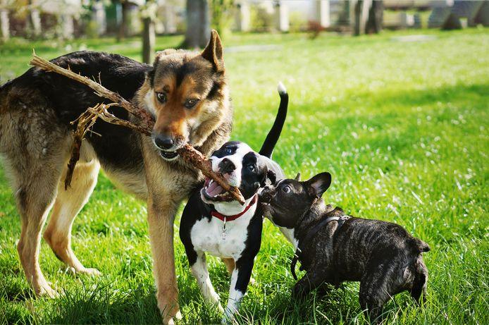 Une plus grande attention du maître favoriserait le jeu chez les chiens.