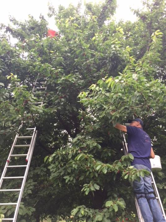 De kersenplukkers kunnen met de ladders tot tien meter hoogte komen.