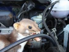 Hondenhaar, kippengaas en in een gieter plassen: zo houd je marters weg bij je auto