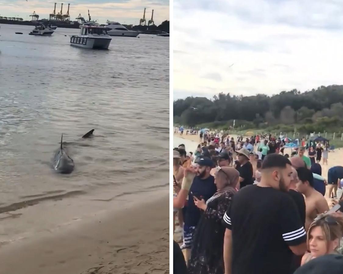 Le 3 avril, un requin a nagé au bord de la plage de La Perouse, en Australie.