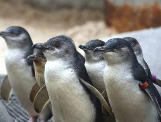 Natuurpark bedolven onder 40.000 pinguïntruitjes