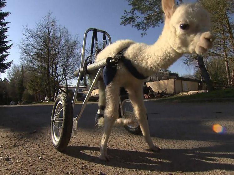 Maak kennis met Marie, de baby-alpaca met maar drie pootjes