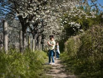 Bloemenpracht in Limburg: onze reporter onthult de mooiste bloesemroutes van de fruitstreek