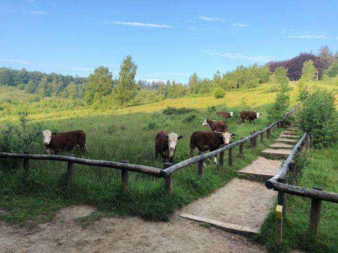 Hereford-runderen op Kwintelooijen.