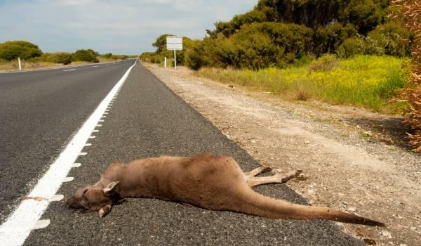Volvo blijft botsen met kangoeroes