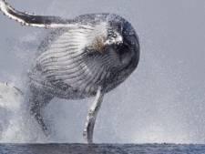 Walvis met vliegambities vastgelegd op camera