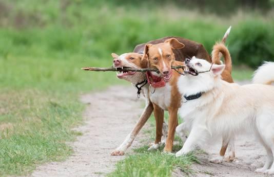 De honden van @rotzbende vormen samen een hecht team. vlnr Nomi, Dora en Ziva