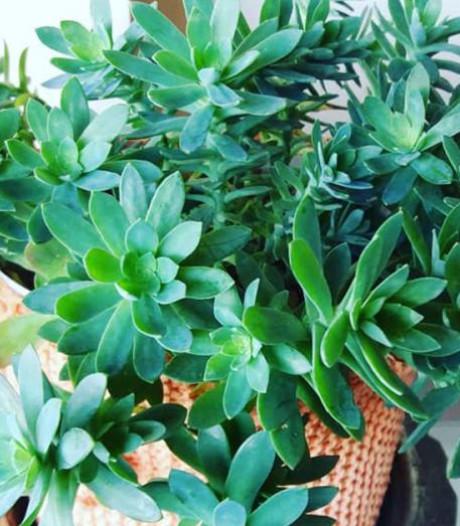 Deze vetplanten doen het ook goed in de tuin