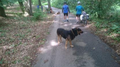 """Agressieve honden vallen wandelaars en reeën aan in Kluisbos: """"Nog één incident en ze worden in beslag genomen"""""""