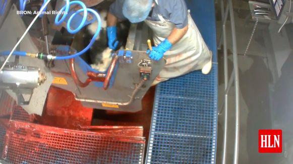 Het slachthuis VanDrie België bevestigt dat er inbreuken op dierenwelzijn te zien zijn op de beelden die dierenrechtenorganisatie Animal Rights in de Hasseltse vestiging maakte. Nadat VanDrie eerder stellig de mishandeling ontkende, laat het bedrijf weten de beelden ernstig te nemen en alsnog een onderzoek te starten.