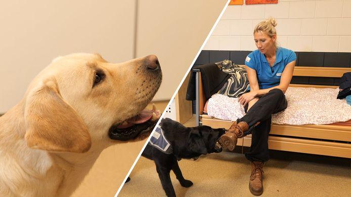 Een hulphond helpt mensen met allerlei beperkingen bij de normale dingen uit het dagelijks leven. Marlies Piersma-Kieft is trainster van deze honden en legt uit wat er komt kijken bij het opleiden van de hulphonden.