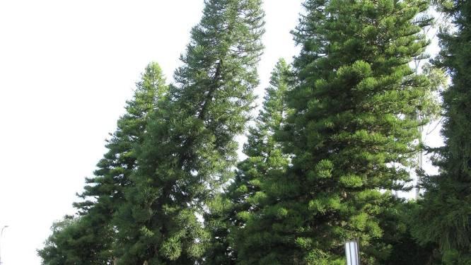 Deze bomen hellen altijd naar de evenaar